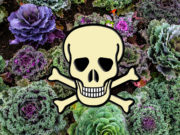 Astounding Kale Contamination Health Jeopardy?